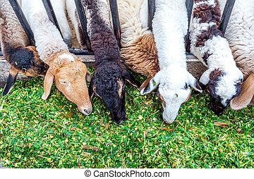 mouton, grass., manger