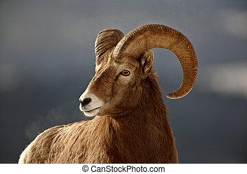 mouton, hiver, bighorn
