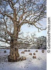 mouton, hiver, neigeux, arbre, sous, troupeau, jour