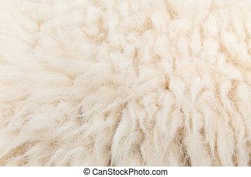 mouton, laine, closeup