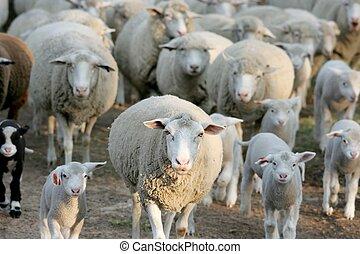 mouton, maison, troupeau, aller