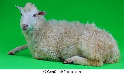 mouton, mensonges, écran, vert