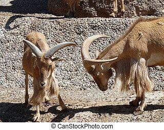 mouton, montagne, deux, bighorn
