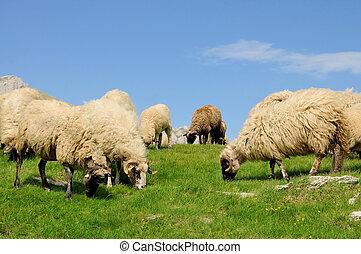 mouton, montagne, herbe, pâturage
