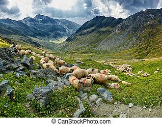 mouton, montagne