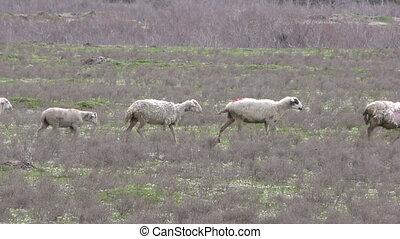 mouton, nature
