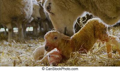 mouton, nouveau né, lécher, mère, royaume-uni, ferme, agneau...