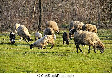mouton, pâturage, pré