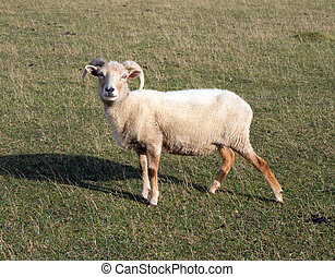mouton,  Portland, race