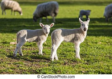mouton, printemps, agneaux, bébé, champ