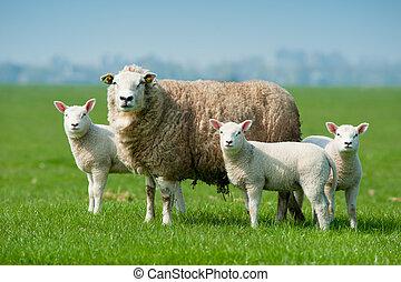 mouton, printemps, agneaux, elle, mère
