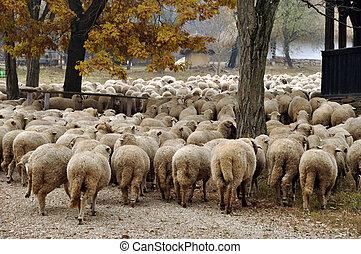 mouton, rassemblement, troupeau