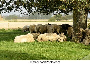 mouton, romney, arbre, marais, sous, troupeau