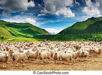 mouton, troupeau
