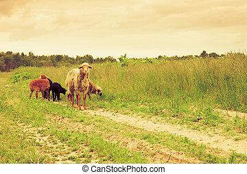 mouton, troupeau, temps, sous
