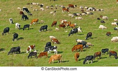 mouton, vaches, pâturage, pré, troupeau