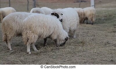 mouton, vert, beau, lot