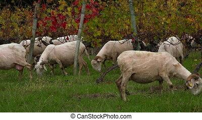 mouton, vignoble, soutenable, herbe, bordeaux, développement...