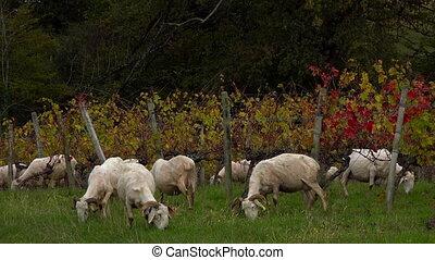 mouton, vignoble, soutenable, herbe, bordeaux, développement, troupeau, pâturage