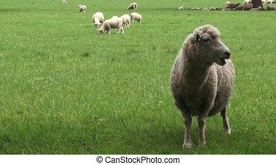 moutons merino, dans, les, enclos