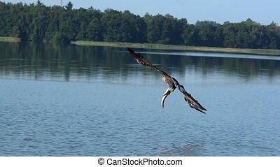 mouvement, aigle, lent, peche