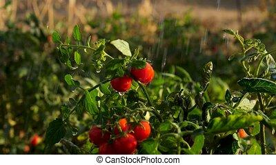 mouvement, lent, eau, buisson, frais, gouttes, tomates