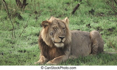 mouvement, oeil, lion, lent, cligner