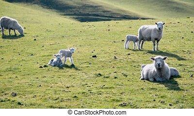 mouvement, pré, mouton, lent, beau, zealand., nouveau