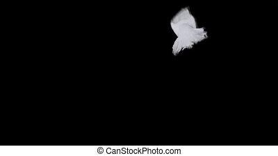 mouvement, transparent, fond, lent, colombe, voler, paix, blanc