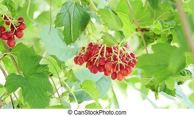 mouvementde va-et-vient, baies, branch., rouges, tas, wind., juteux, ranch, baie, arbre, feuilles, branches, vert, viburnum, pendre, berries., ordinaire