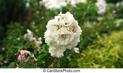 mouvementde va-et-vient, nuageux, roses, blanc, jour, vent