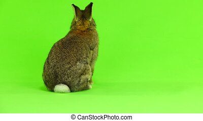 mouvements, lapin, (three, brun, mois, isolé, écran, vert, ...