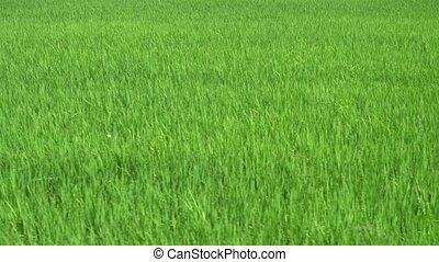 Move in green paddy field.