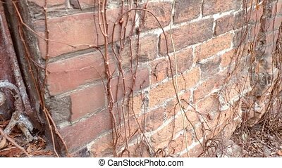 Movement along the old brick wall with a window on which a rusty grate and dried wild grapes.