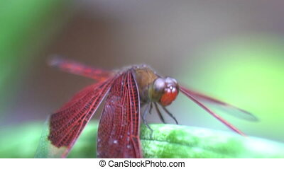 Movement of a red dragon fly close up shot macro, tropical insect, bali indonesia