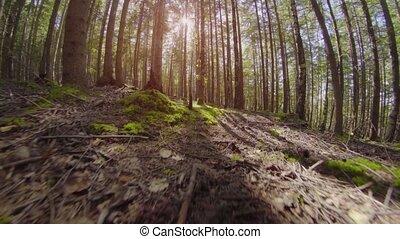 Movement on the fir forest. Ukraine, Carpathians