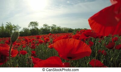 Movement through the field with red field poppies.