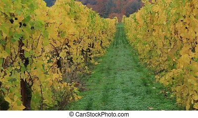Movie zooming out grape bearing vines closeup in colorful...