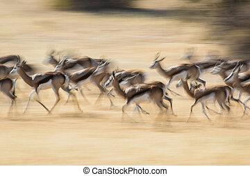 movimento, springbok, borrão
