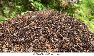 Moving ants on a anthill, slow motion of alpin woods in summertime.