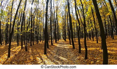 Moving at empty city park in autumn with bright sunlight shining through trunks of trees. Yellow maple leaves lie on alley. Beautiful autumnal landscape. Colorful background. Point of view Slow motion.