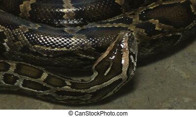 Moving Boa Snake
