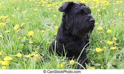 Moving camera footage of the Giant Black Schnauzer Dog lying...