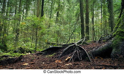 Moving Past Large Tree Roots In Forest - Dolly shot slowly...