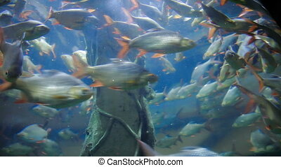 Moving shoal of Tinfoil Barb (Barbonymus schwanenfeldii)...