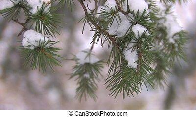 Moving spruce branch