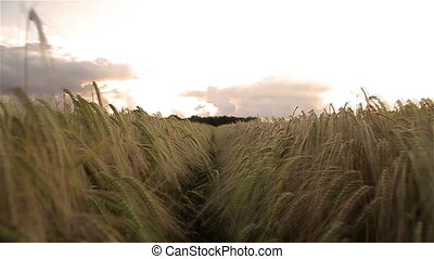 moving through a cornfield - a slow motion video of a camera...
