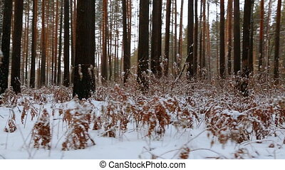 Moving through the winter pine forest