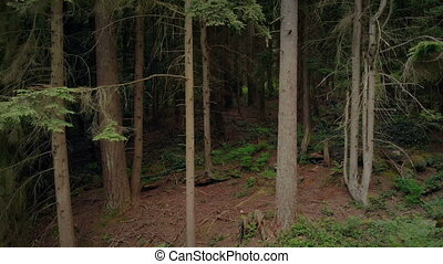 Moving Up Tall Trees In The Woods - Rising aerial shot of...