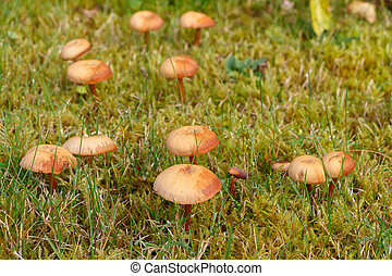 Mower's mushrooms in moss
